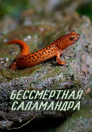 Бессмертная саламандра
